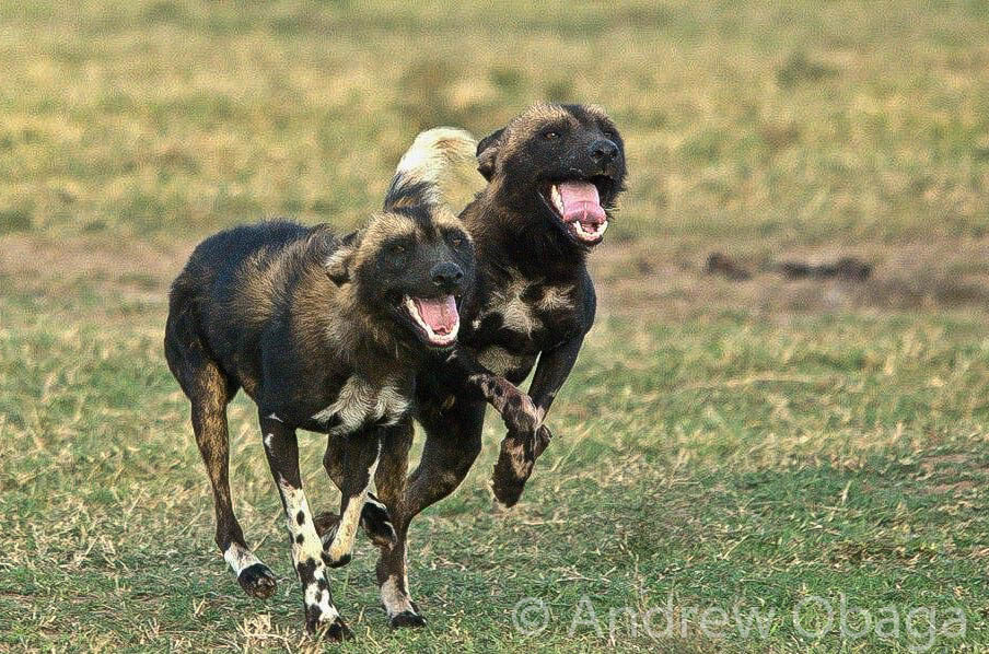 Grinning canines-2