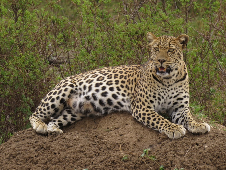 Pitter Panthera of tiny paws