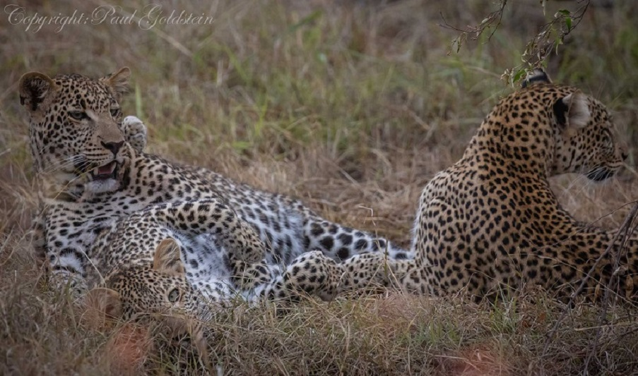 Tito's leopard brood son and daughter