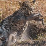Leopard male cub of Tito pigs out on Warthogs