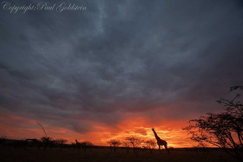 Giraffe in false dawn