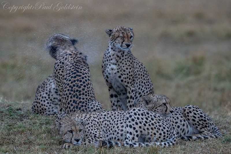 Four of the five muskateers cheetah colalition