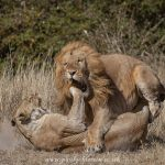 Lioness mother smacks lion on the jaw after it slaughtered her three cubs.