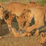 Tikki's daughters, Sampu Enkare lion pride kill a jackal for intruding on their feast