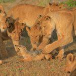Tikki's daughters, Sampu Enkare lion pride kill a jackal for intruding on their feast