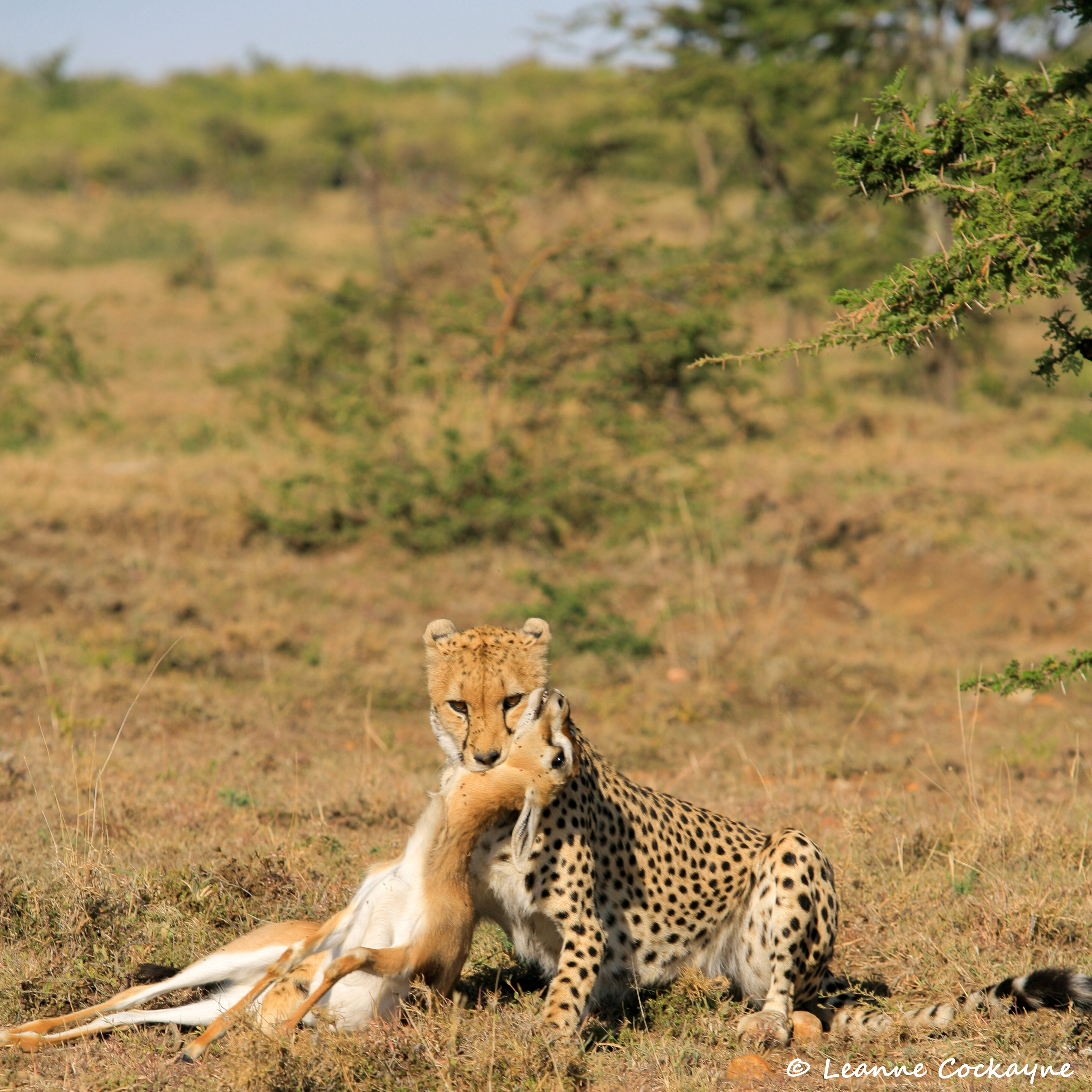 Kiraposh 's Cheetah daughter with gazelle kill