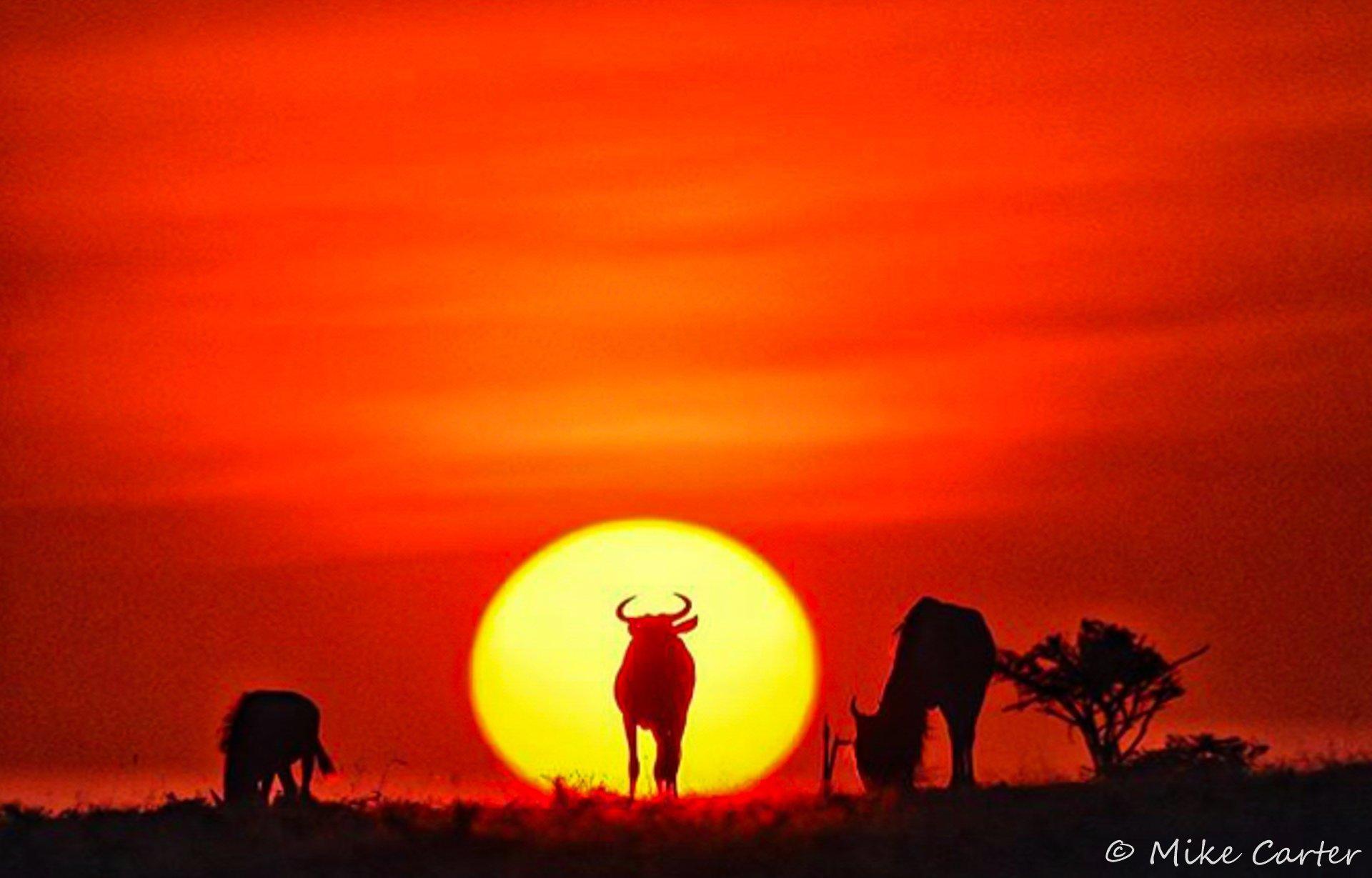 Wildebeest sundowner SOW