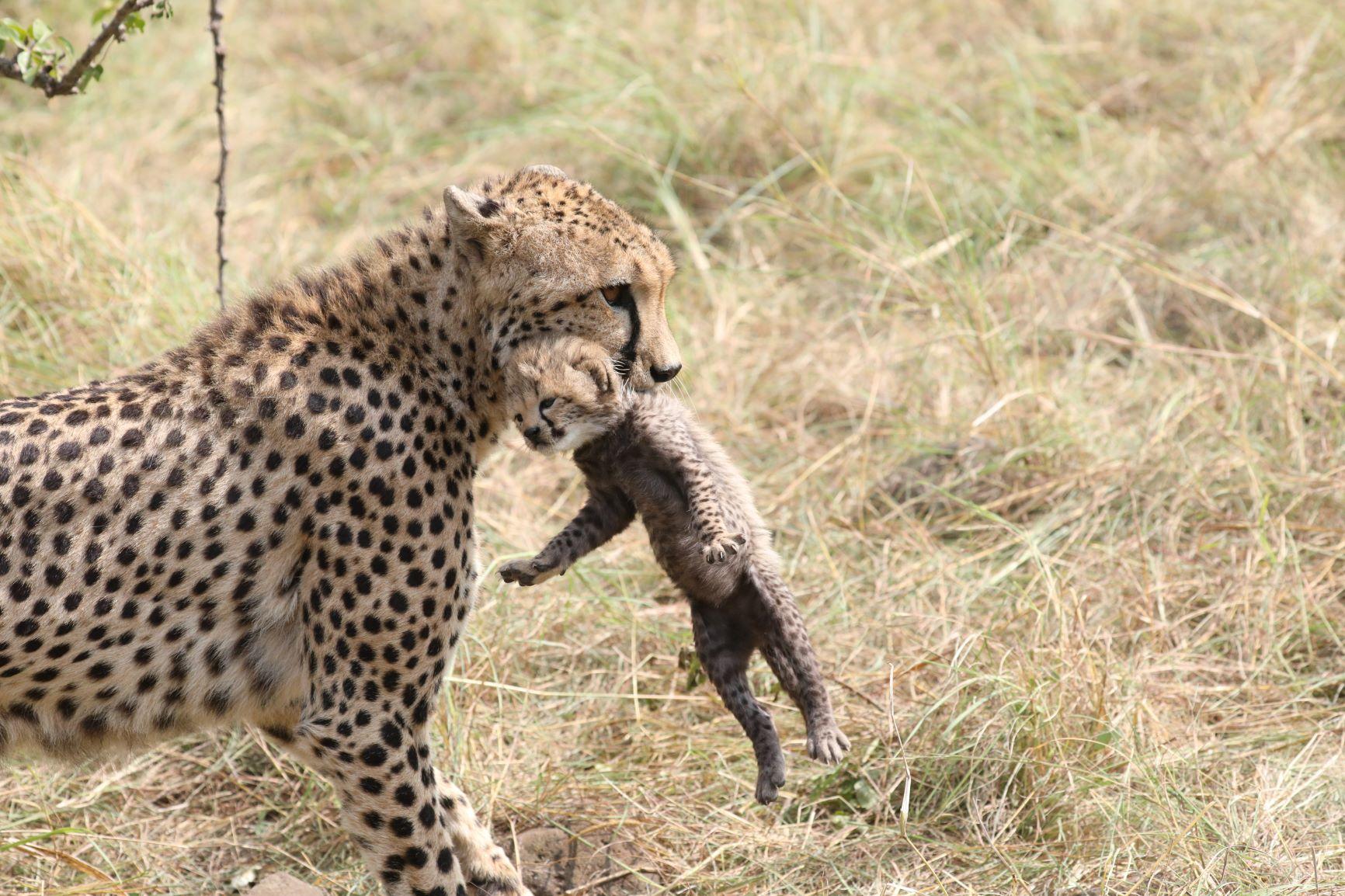 Cheetah's coming home.